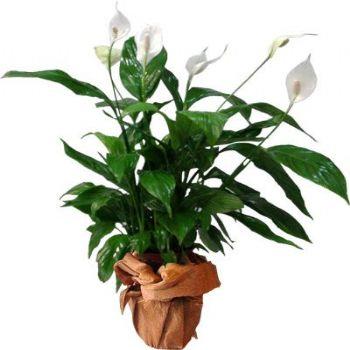Spati - Salon büro saksı çiçeği ↕ 55 cm
