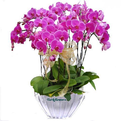Büyük Pembe Orkide