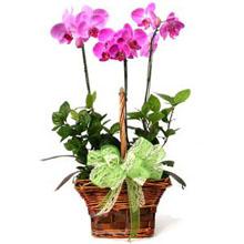 3 Dallı pembe renkli orkide