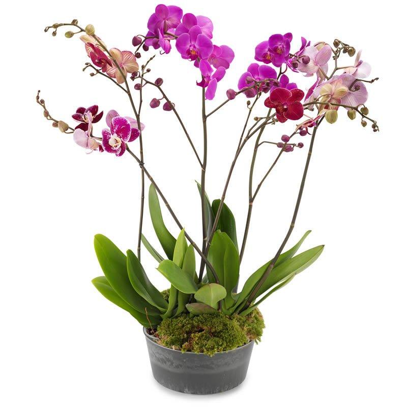 Pembe Gurup Orkide