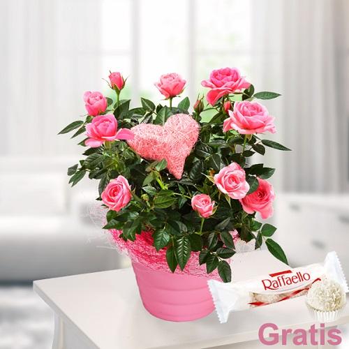 Pembe Güller Canlı Bitki
