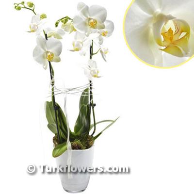 2 Dallı Beyaz saksı orkide ↕60 cm
