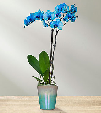 Mavi Phalonopsis Orkide