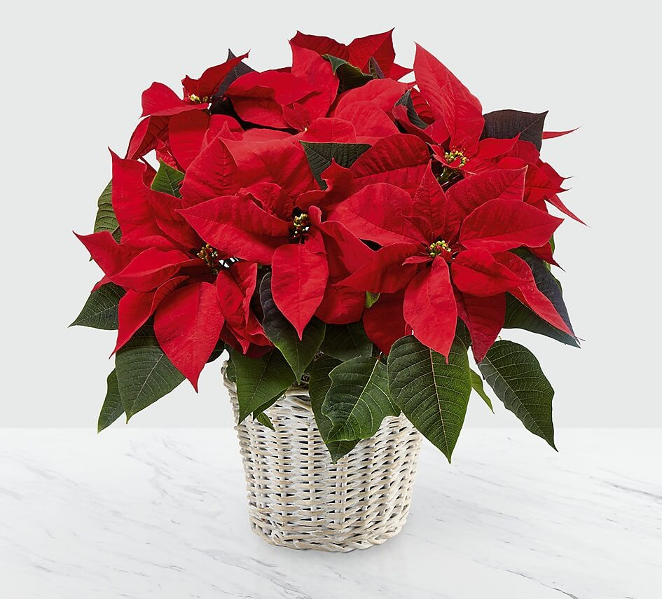 Possentya Yılbaşı çiçeği Texsas