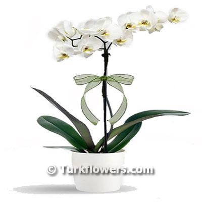 Tek Dallı Beyaz  Saksı Orkide