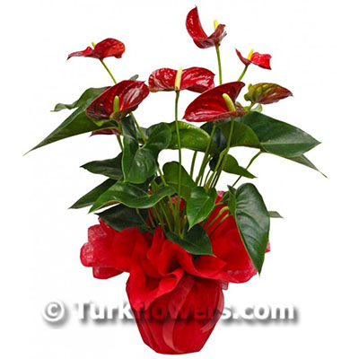 Antorium salon saksı çiçeği