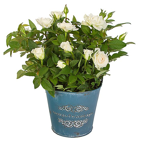 Dekoratif Vazoda Mini Beyaz saksı Gül