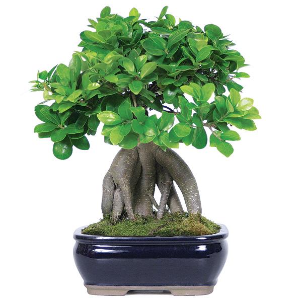 Bonsai - Ficus Genshen