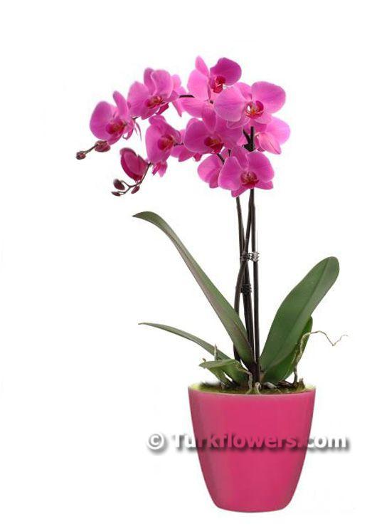 İki Dallı Pembe Orkide