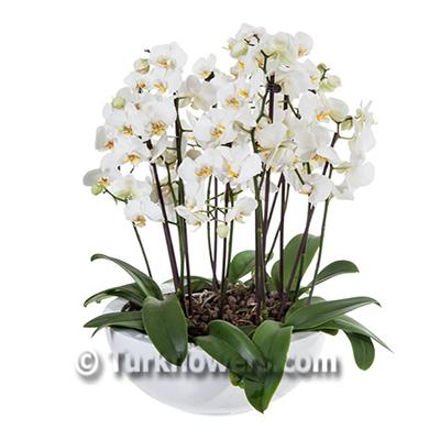 Büyük Beyaz Orkide
