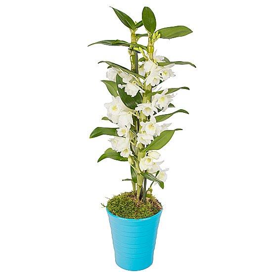Dendrobium saksı orkide