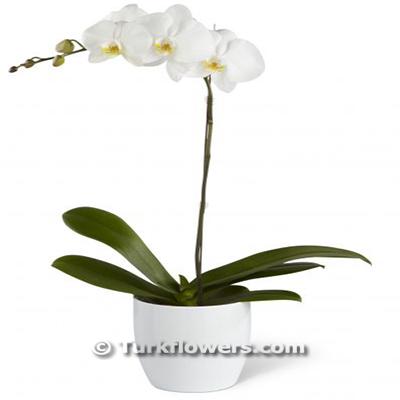 Beyaz Renkli Tekli saksı Orkide