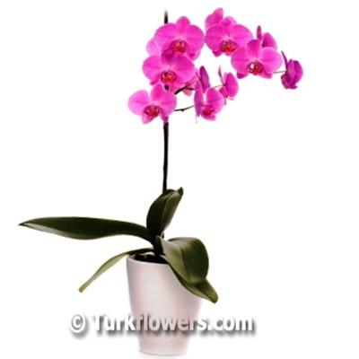 Pembe Renkli Tekli Saksı Orkide