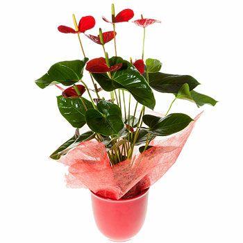Antorium Saksı Çiçeği