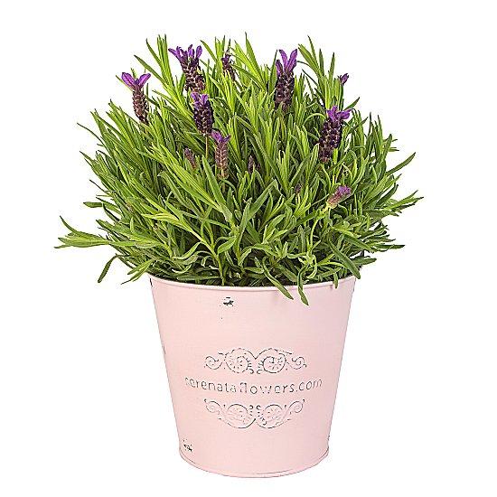 Lavanta saksı Çiçeği