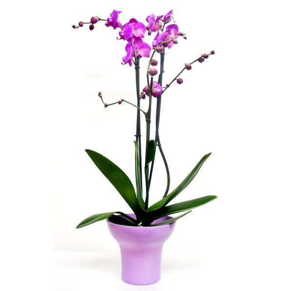 Pembe Renkli saksı orkide