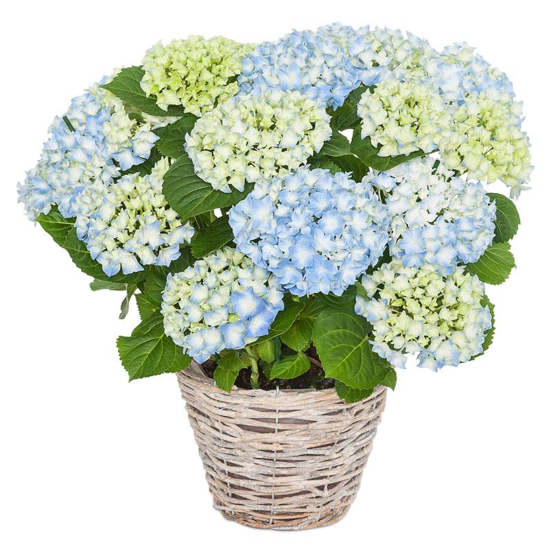 Mavi Ortanca Saksı Çiçeği