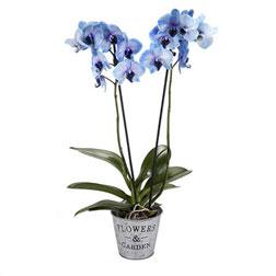Mavi renkli saksı orkide