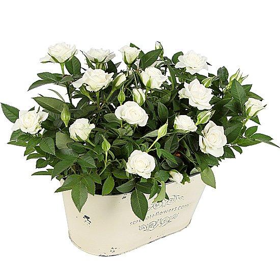 Dekoratif Vazo içerisinde mini Beyaz saksı güller