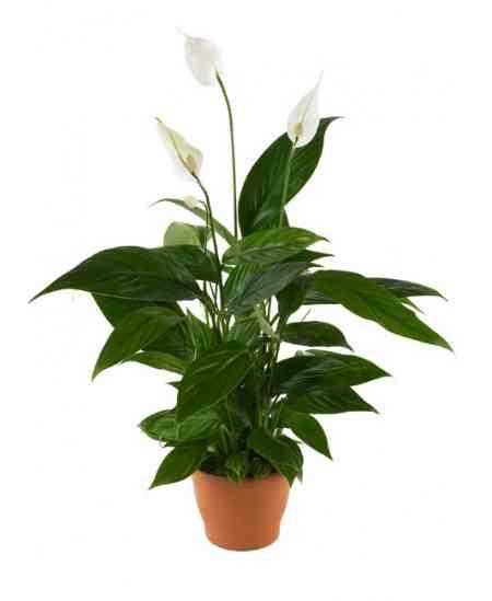 Spathiphyllum saksı çiçeği