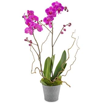 Pembe Saksı Orkide