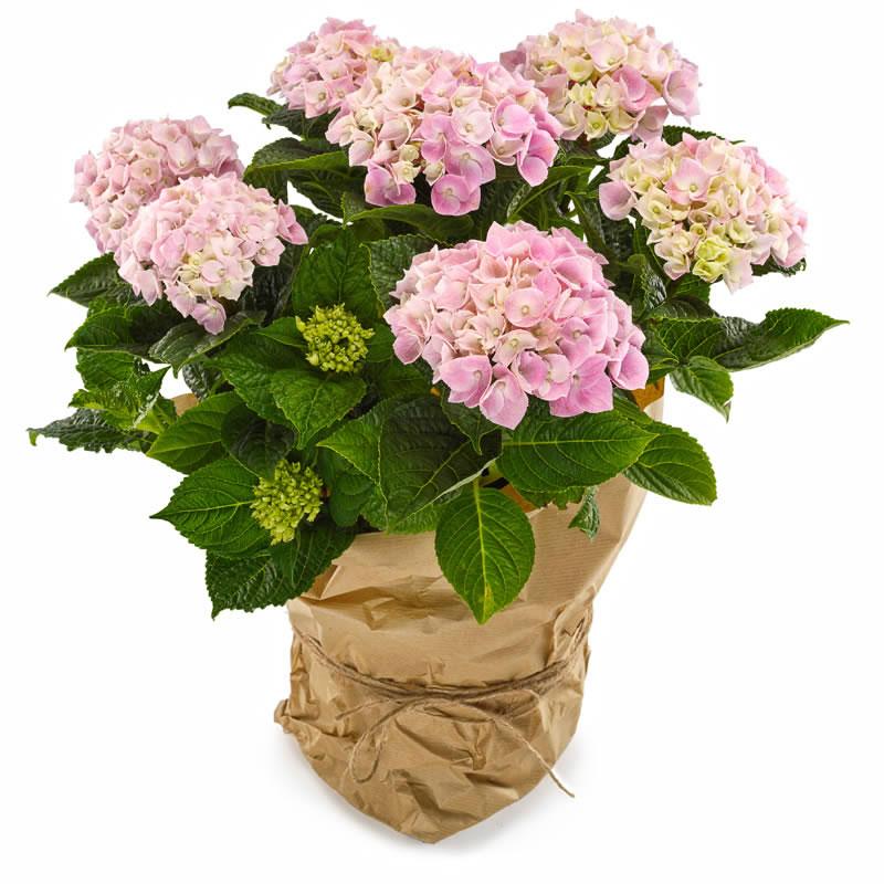 Pembe Ortanca Saksı Çiçeği