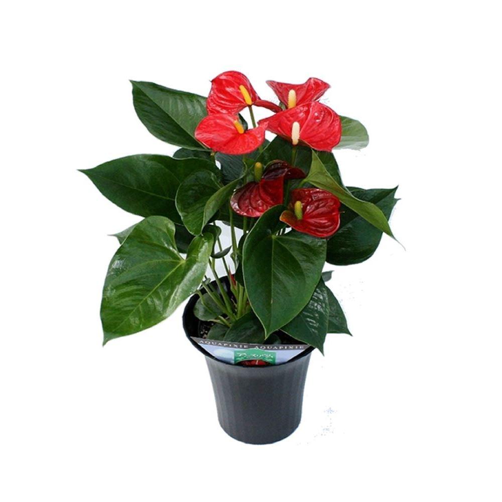 Antoryum kırmızı saksı çiçek