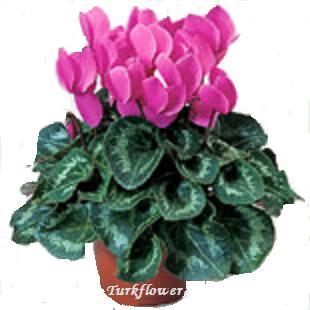Sıklamen Saksı Çiçeği