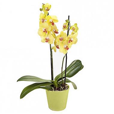 Çift dallı Sarı Renkli Orkide