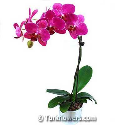 Fuşya Renkli phaleonopsis orkide