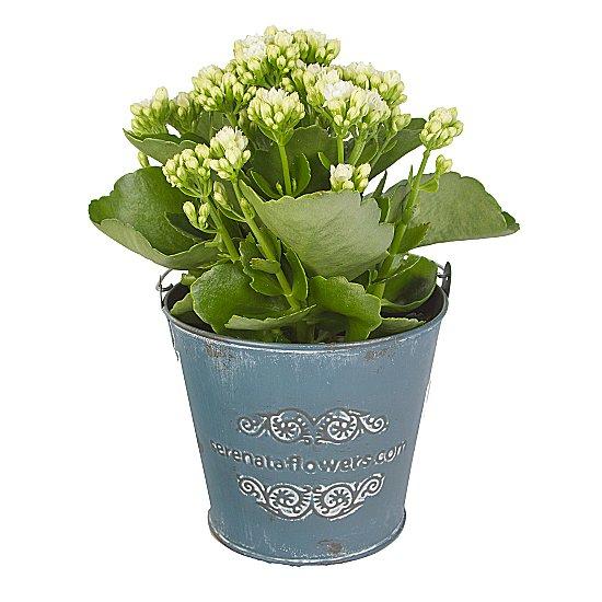 Dekoratif vazoda Beyaz Kalanchoe