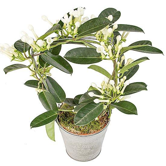 Arap Yasemini saksı çiçeği