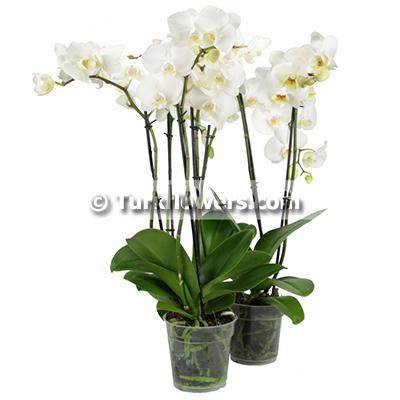 Okide saksı çiçeği