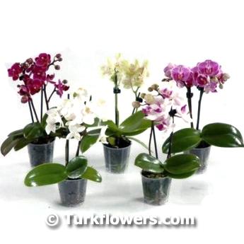 Mini Renkli Orkideler