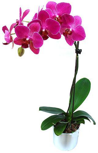 Pembe phaleonopsis  orkide