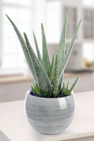 Aloe Vera bitki