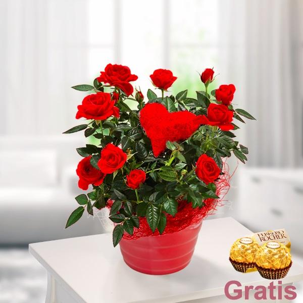 Canli Bitki Kırmızı Gül