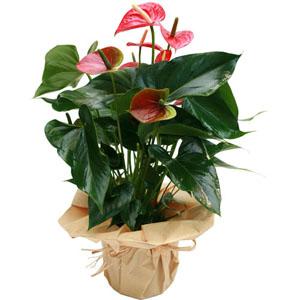 Antoriun saksı çiçeği