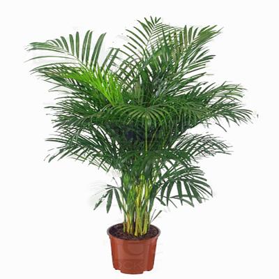 Areka Palm