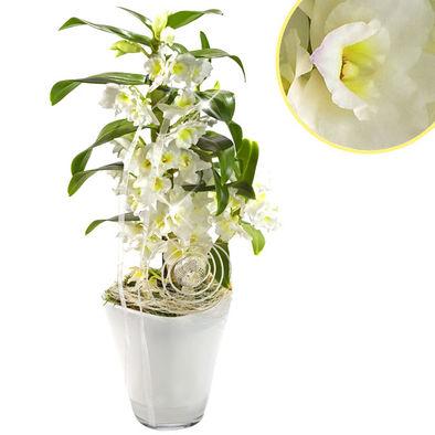 Beyaz renkli Asya Orkide ( Kokulu )