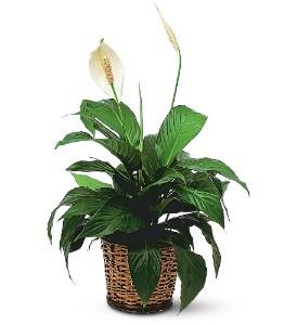 Spatifilium salon saksı çiçeği