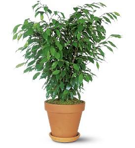 Ficus saksı çiçeği