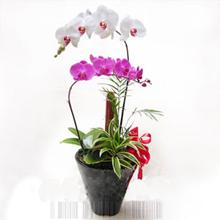 pembe ve beyaz saksı orkide