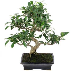 Bonsai saksı (minyatür ağaç )
