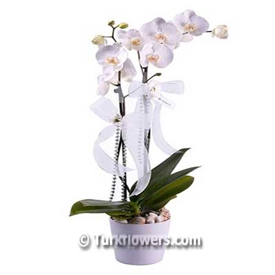 İkili Beyaz Saksı Orkide