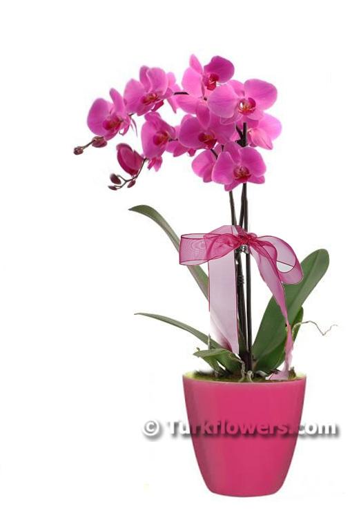 Pembe Renkli ikili Orkide