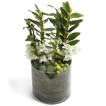 Dendebirium Orkide - Kokulu Orkide