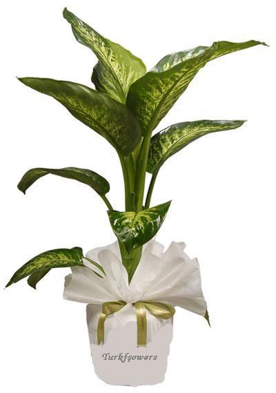 Difenbahya - salon , büro saksı çiçeği h= 75cm