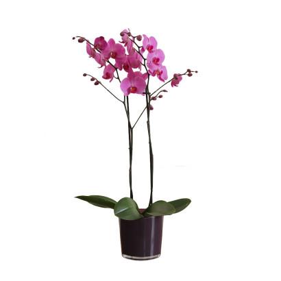 Saksı Orkide pembe