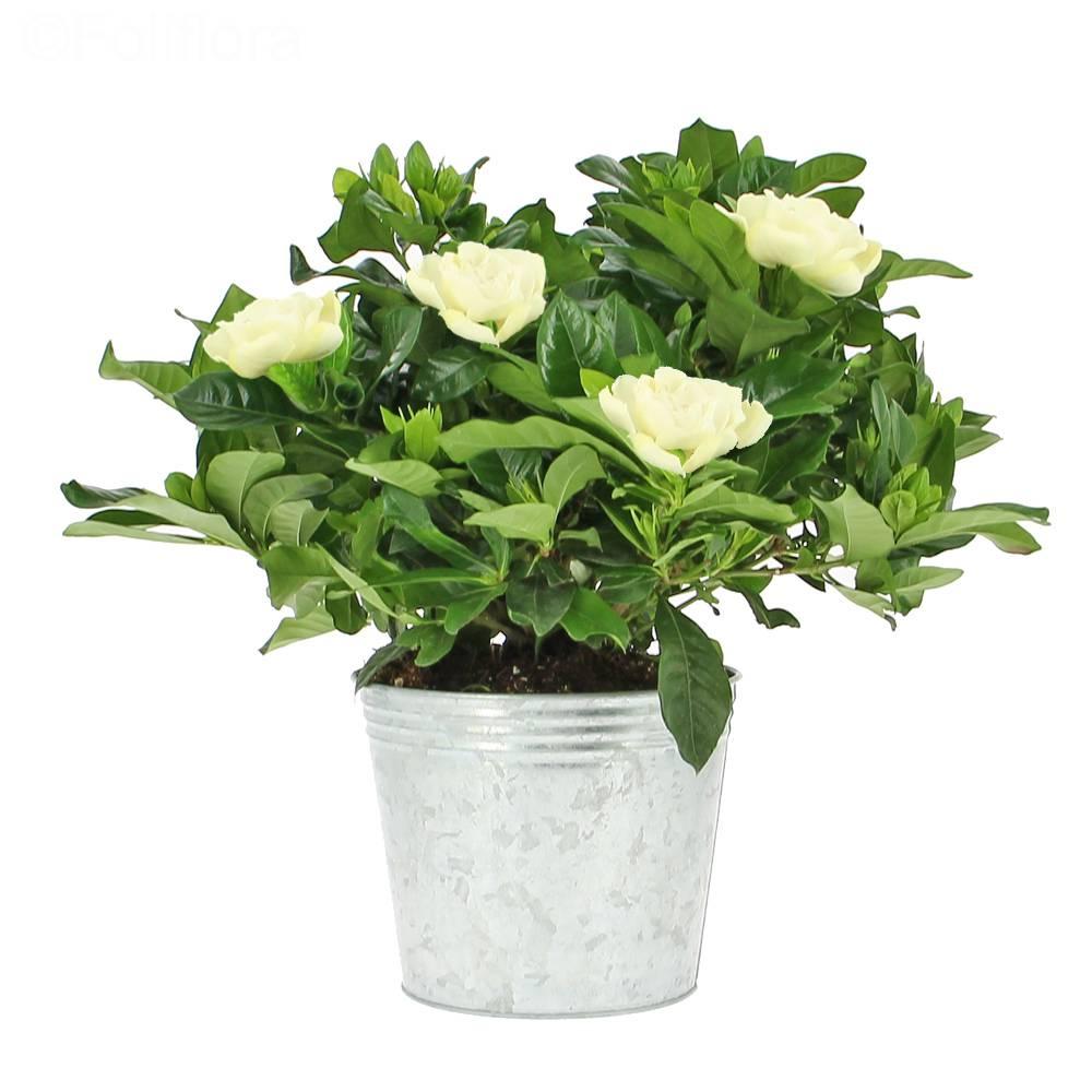 Gardenya Saksı Çiçeği